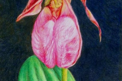 39 colored pencil drawing of a single magenta iris against a black background.
