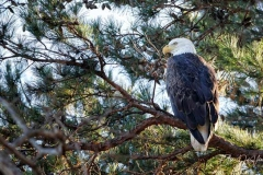50 American Bald Eagle looks watches from above while perched on a pine tree branch.