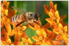 Ellen Devenny, Bee Kind to Our Pollinators, photography
