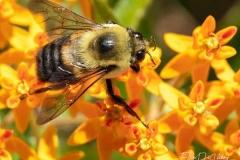 Ellen Devenny, Bumble Bee, photography